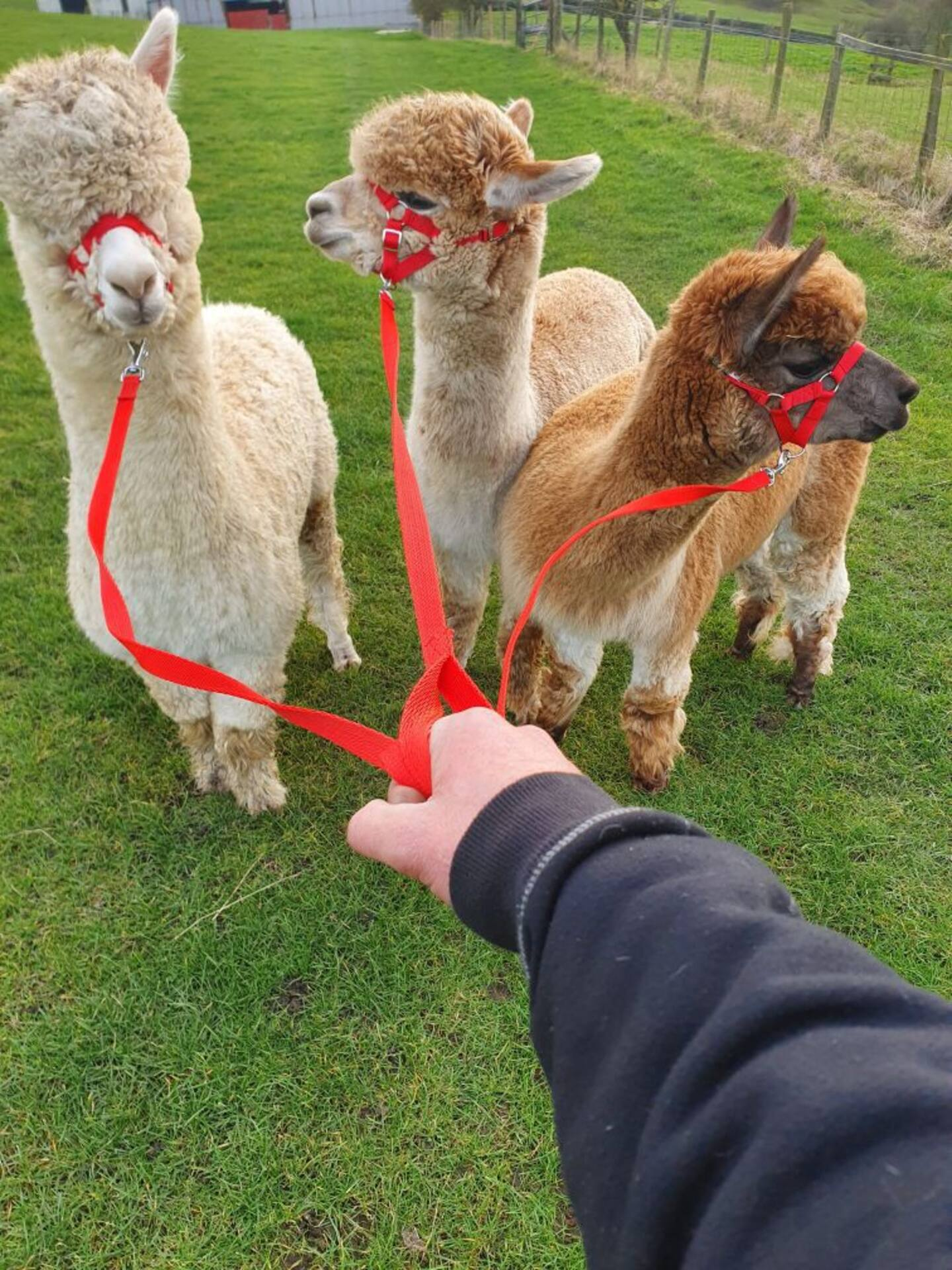 Alpaca Walking Experience and Tour